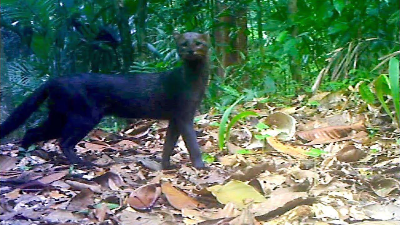 Jungle Animals Trail Cam PickUp || Ocelot and Jaguarundi Cats || Brownin...  | Jungle animals, Animals, Very rare animals
