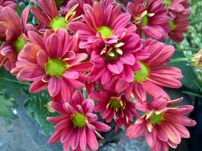 Gambar Bunga Chrysantemum Pink