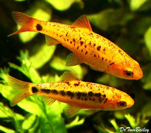 Aquariumfish Net Aquarium Fish Aquarium Fish For Sale Freshwater Aquarium Fish