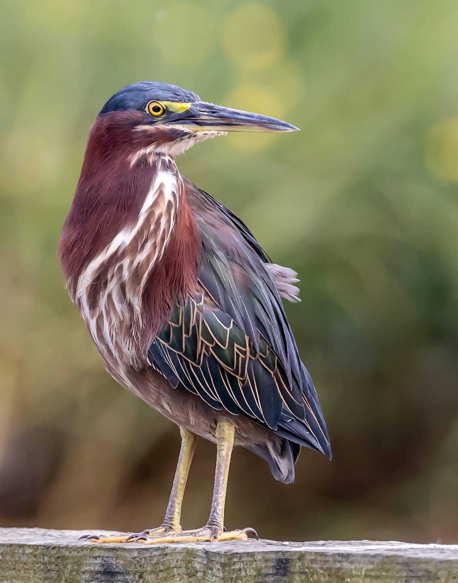 Little Green Heron by Don Young | Backyard birds, Bird pictures, Green heron