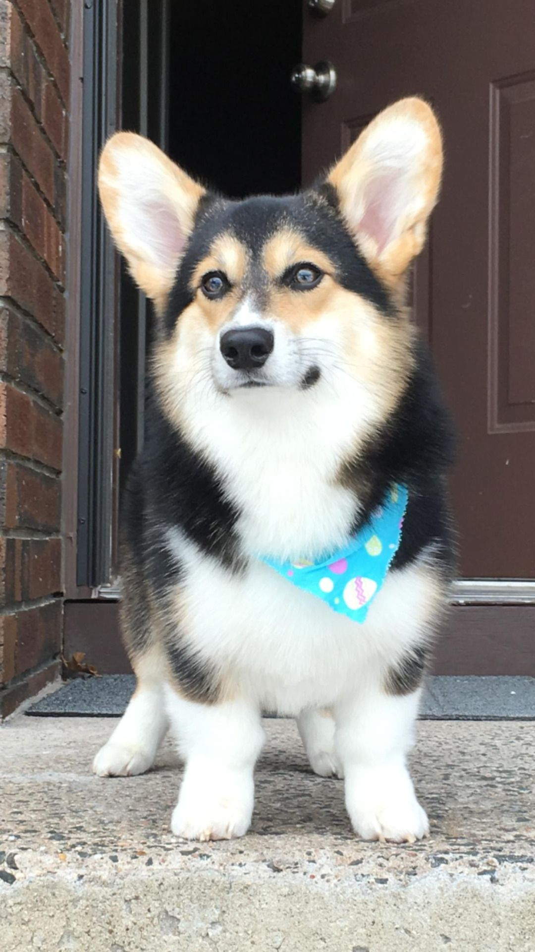 The Queens Corgis Here Is Cooper Our 8 Month Old Pup At
