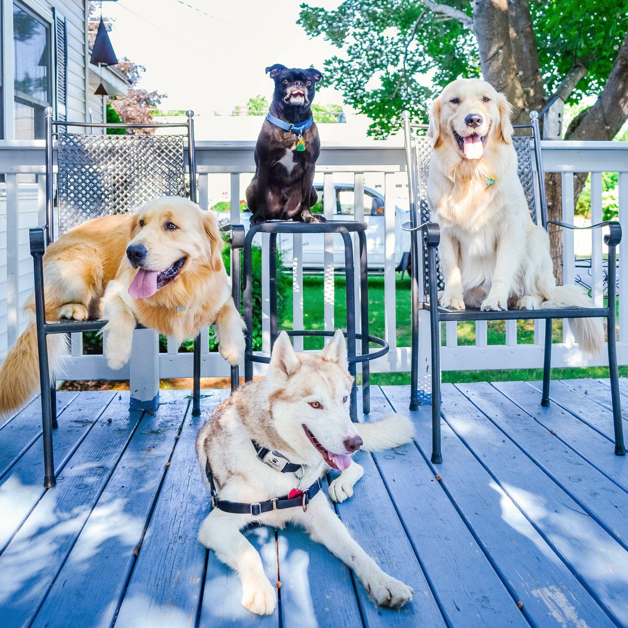Rescued Foster Dogs Joyful Goldens Meet Jet Our First Foster