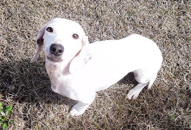Zoie Akc Dachshund Extreme Piebald Solid White With Ticking Doxie
