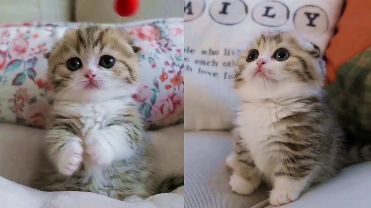 This Baby Kitten Will Melt Your Stress Away Scottish Fold Kittens Baby Kittens Cute Kitten Gif