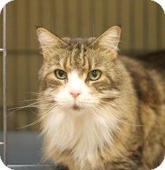 Penelope Adopted Cat Norwalk Ct Norwegian Forest Cat Norwegian Forest Cat Cat Adoption Norwegian Forest
