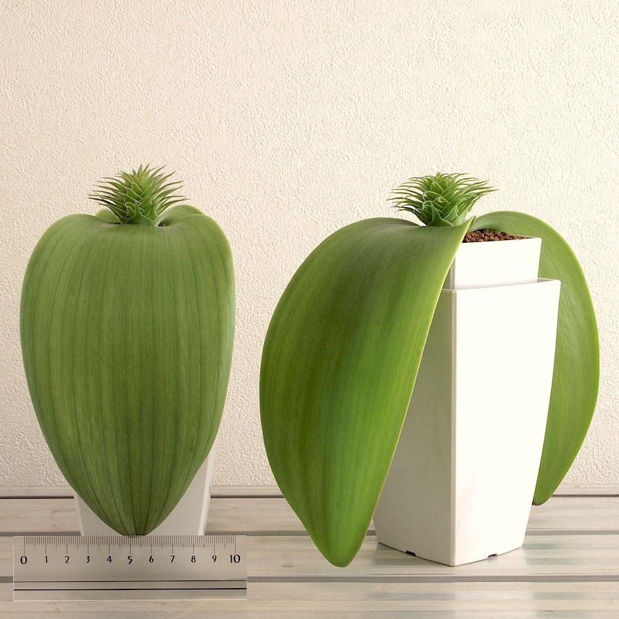 Whiteheadia bifolia / Massonia bifolia