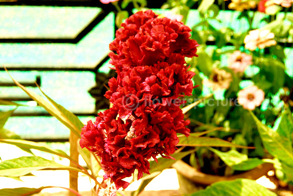 Common Name Cockscomb Maroon Feathered Amaranth Botanical Name Celosia Cristata Family Amaranthaceae Order Caryophyllales In 2020 Ornamental Plants Flowers Plants