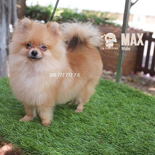 Dijual Anjing Pomeranian For Sale Supermini Pomeranian Lokasi