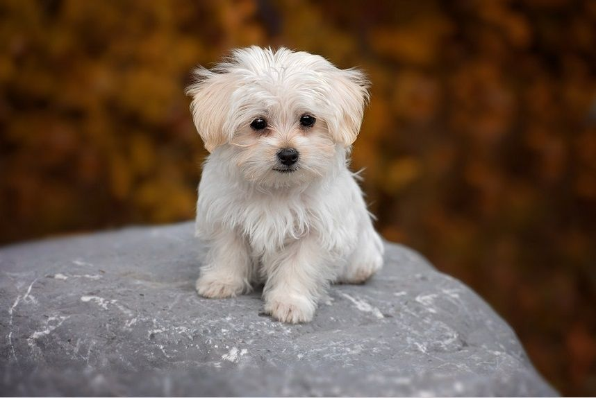 The Facts About Maltese Dogs And Puppies Dog Breeds Maltese Dogs