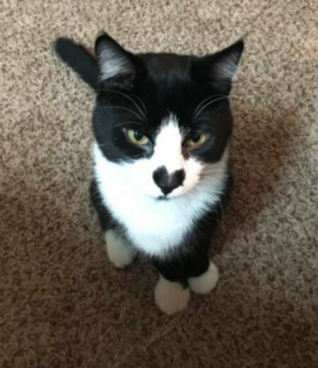 Black White Cat Tuxedo With Black Heart Shape In Its Nose White Cat Cats Heart In Nature