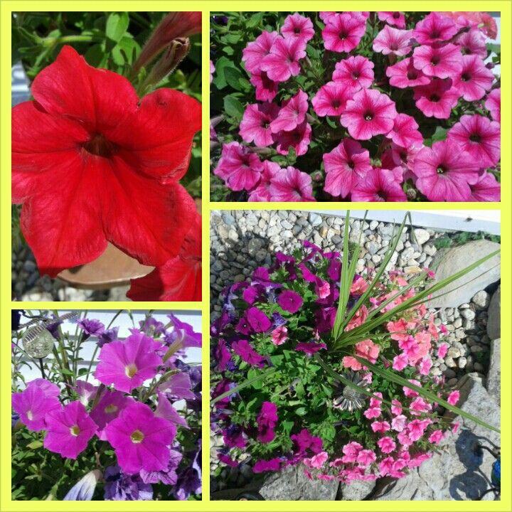 A few of my petunias!