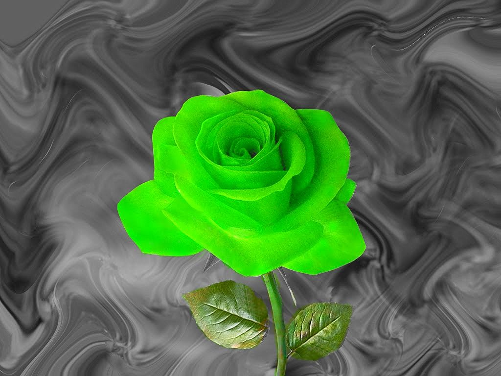 Green Rose Hd Wallpapers Flowers Gift Of Nature Bud With Leaves