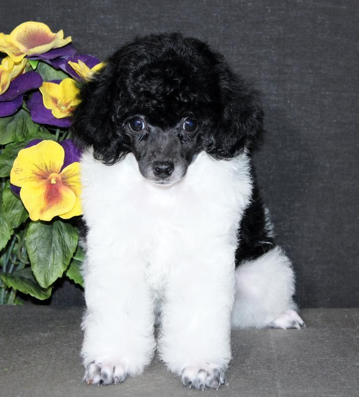 Toy poodle breeders wi