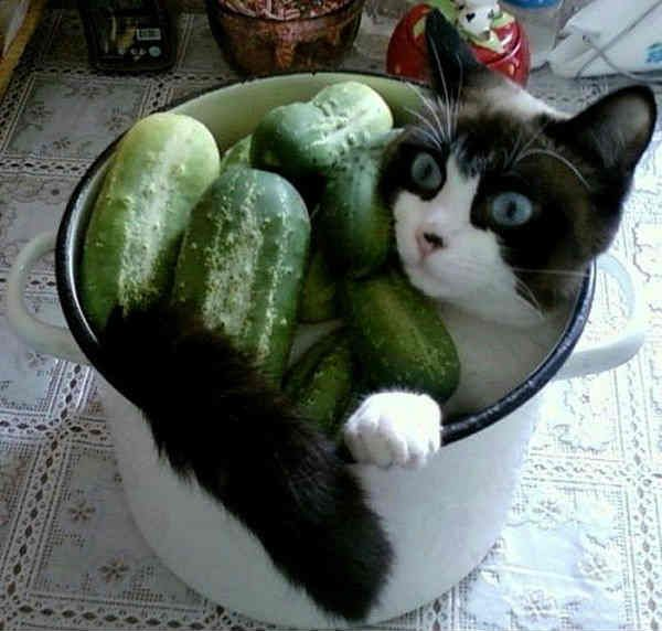 why are cats afraid of cucumbers amnimals pinterest cucumber