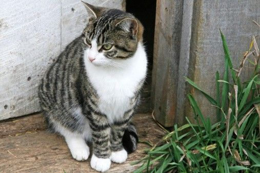 Grey Tabby Cat Tabby Cat White Tabby Cat Cat Personalities