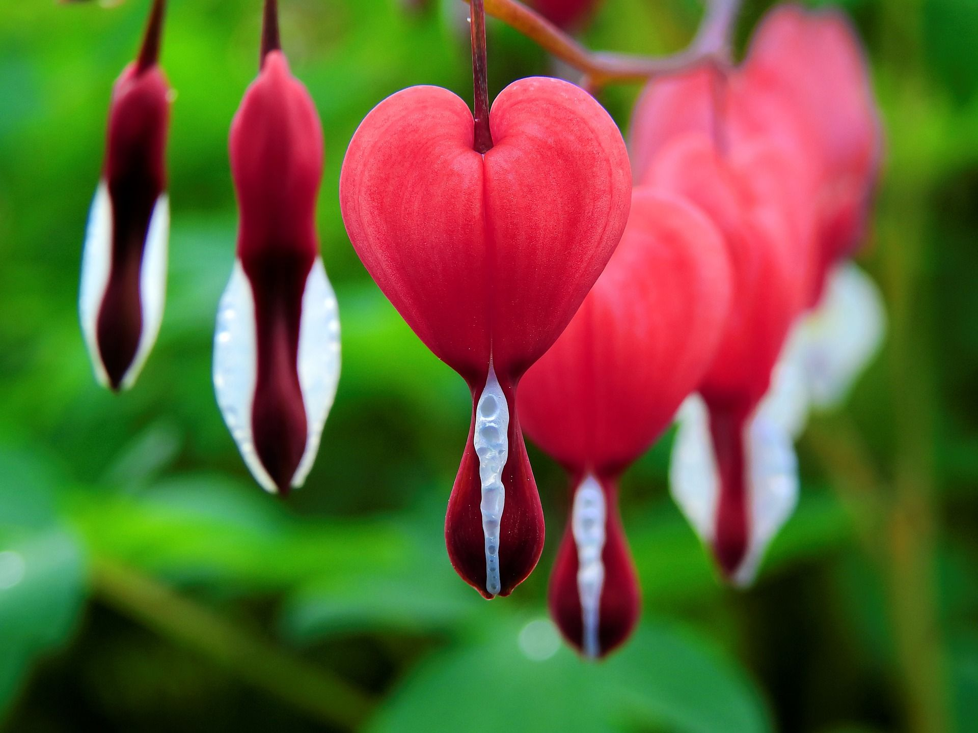 How to grow and care for the bleeding heart plant shade flowers
