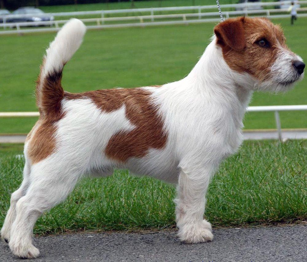 Australian Jack Russel Terrier Jack Russell Dogs Jack Russell Terrier Jack Russell