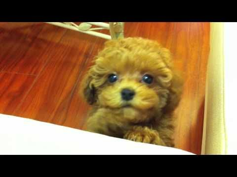 Tiny Red Toy Poodle Puppy Kola 9 5 Weeks 1 8 Lbs Whining