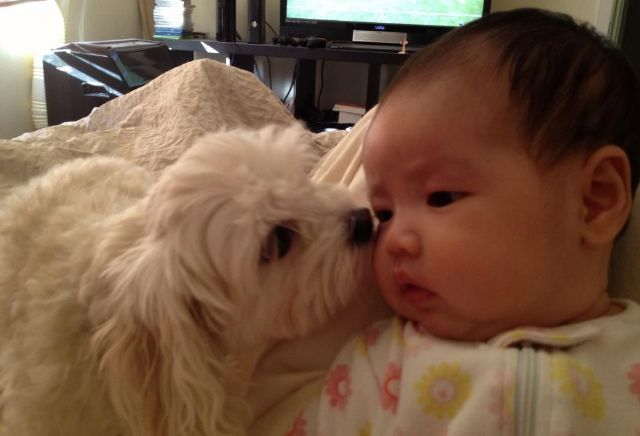 Maltipoo with baby