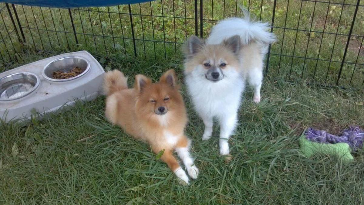 Pomeranian Puppies in Columbus, Indiana - Hoobly Classifieds
