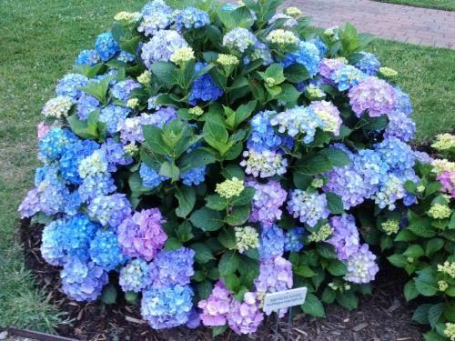 Image Result For Hydrangea Macrophylla Mathilda Gutges Hydrangea Garden Hydrangea Landscaping Hydrangea