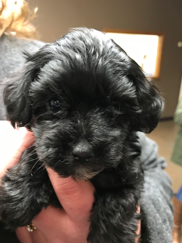 Jasper Havapoo 4 Weeks Old Poodle Mix Dogs Dog Breeds Small Dog Breeds