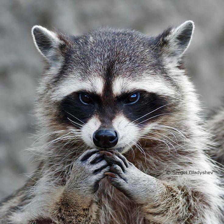 #mapache plan malevolo #evilraccoon