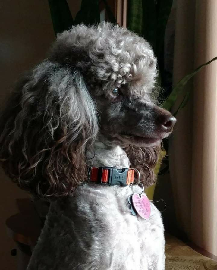 Standard Poodle Image By Susiemac On Standard Poodles Poodle Dogs