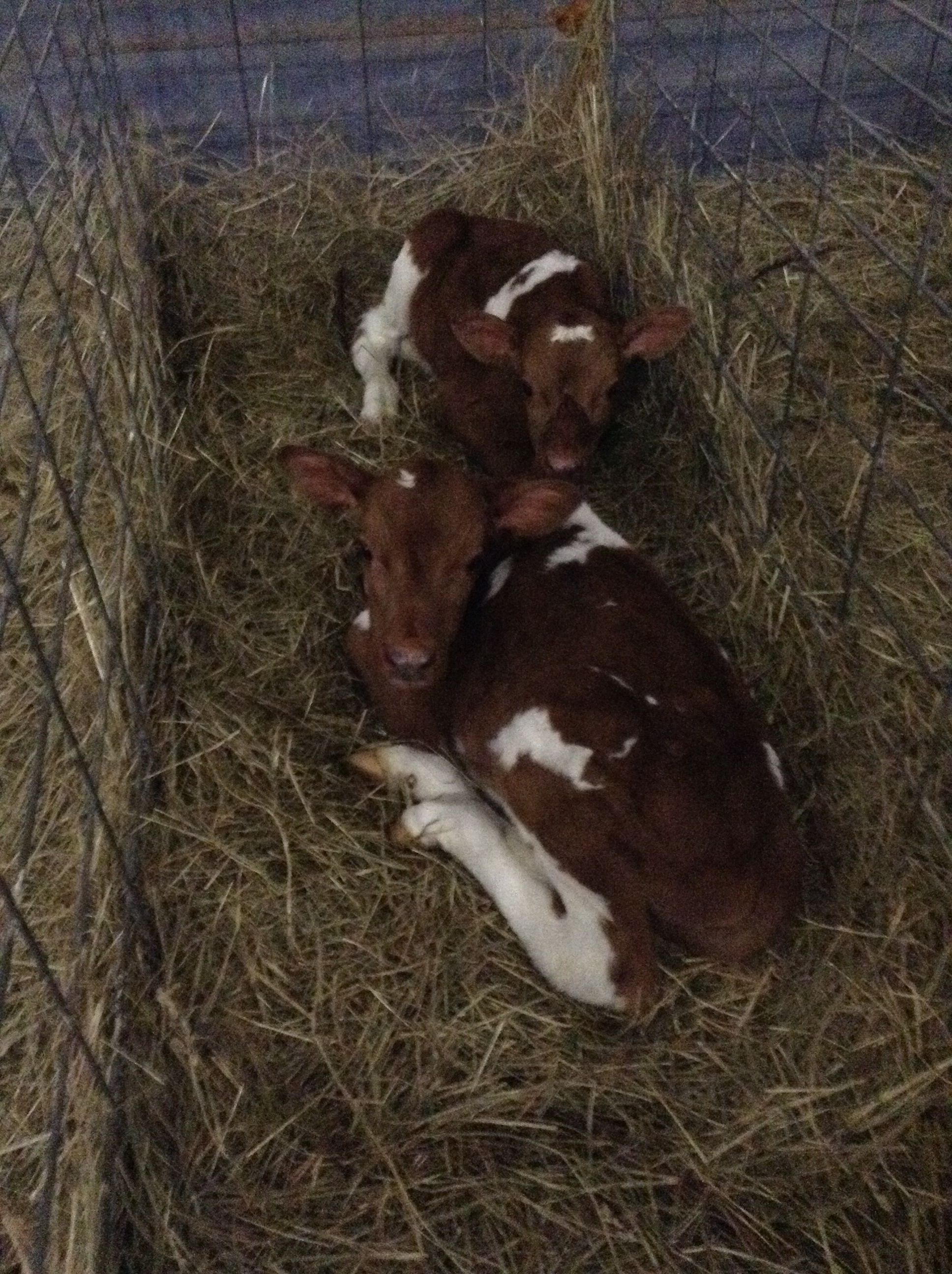 At the farm I spent 2 weeks @ working with the calves. And it got warmer so no need 4 a little coat. These where some twins that we keep together because we thought it was cute❤️
