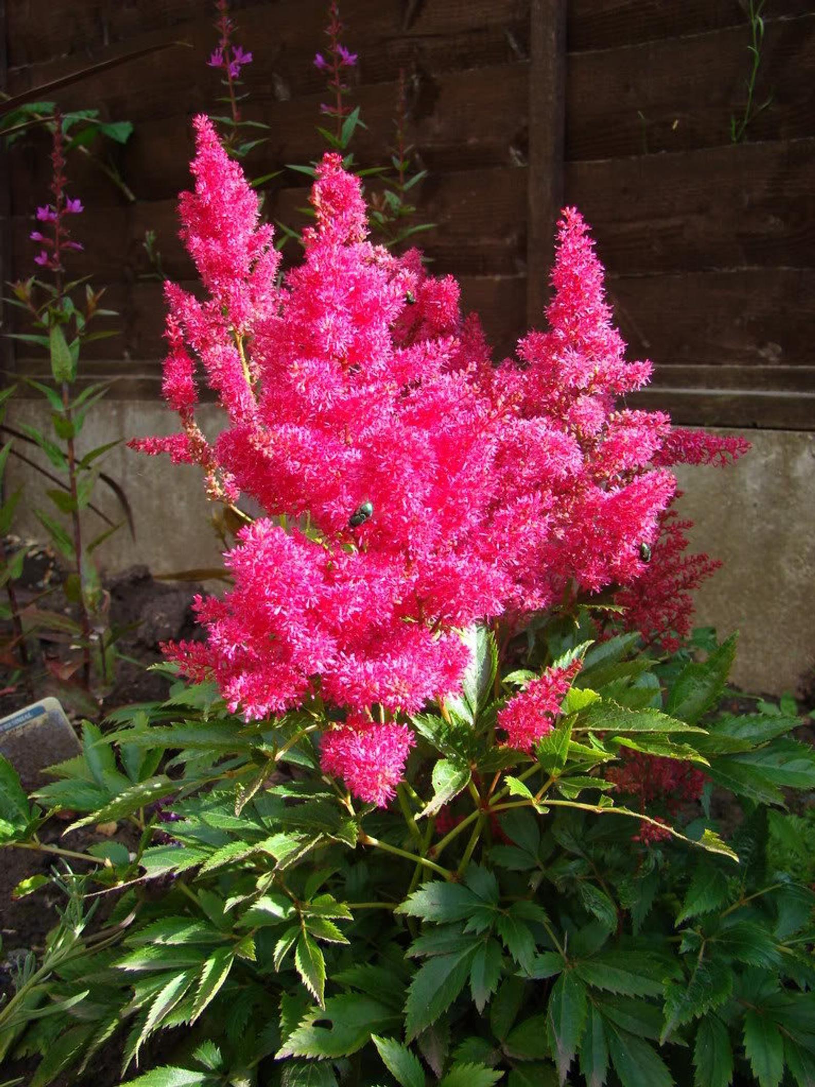 100 Pink Mix Astilbe False Spirea False Goats Beard Etsy In 2020 Flower Seeds Goats Beard Spirea