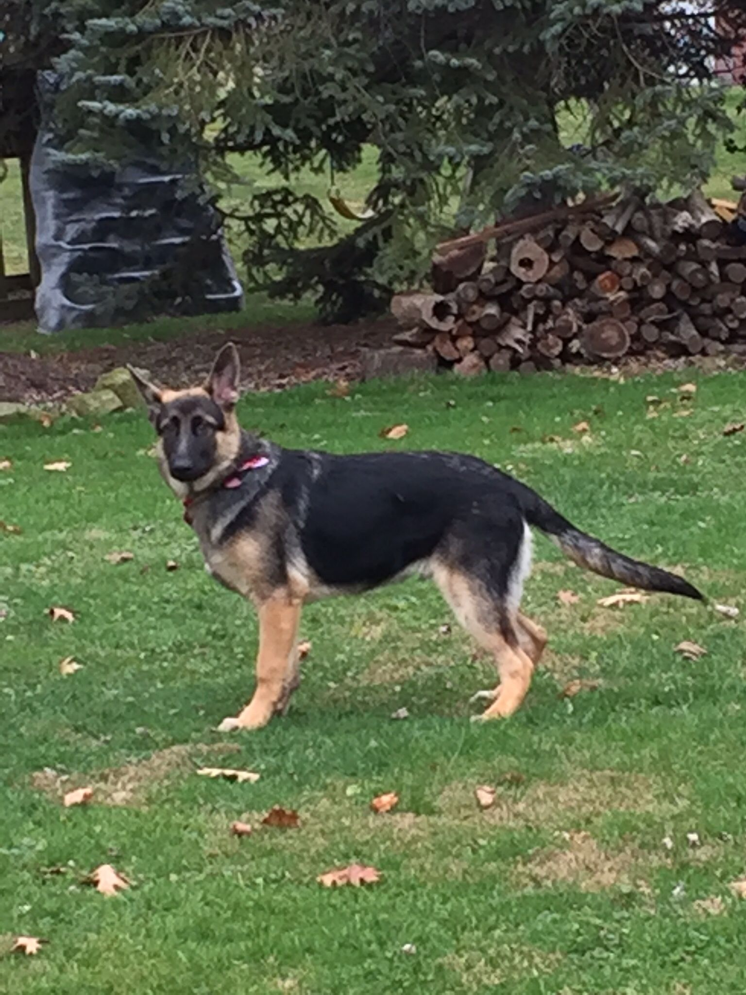 Gsd Duke Shepherd Dog Animals German Shepherd