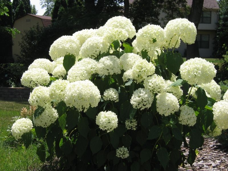 The snowball perennial grows many large balls of flowers ezzy loves the snowball perennial grows many large balls of flowers ezzy loves these mightylinksfo