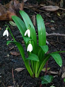Galanthus Wikipedia The Free Encyclopedia Snow Drops Plant Leaves Plants Spring Garden