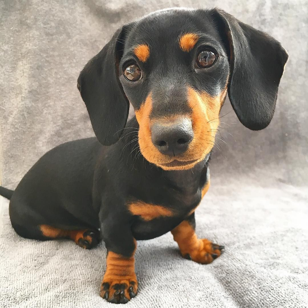 Cute Dachshund If You Love Dachshunds Visit Our Blog To