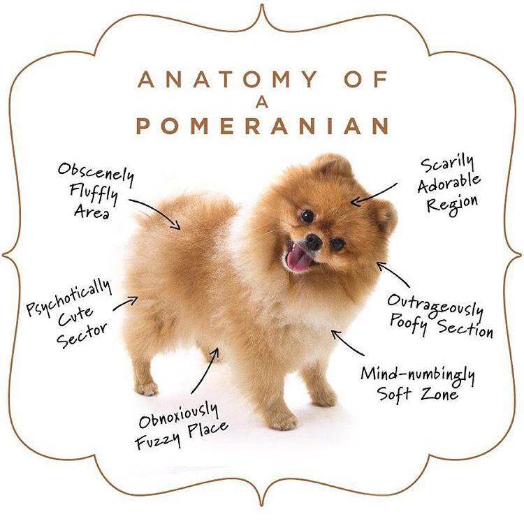 Anatomy of a Pomeranian | Pomeranians | Pinterest