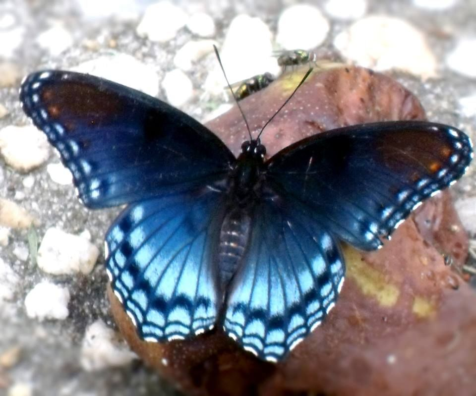 Limenitis arthemis astyanax (© The Insect World)