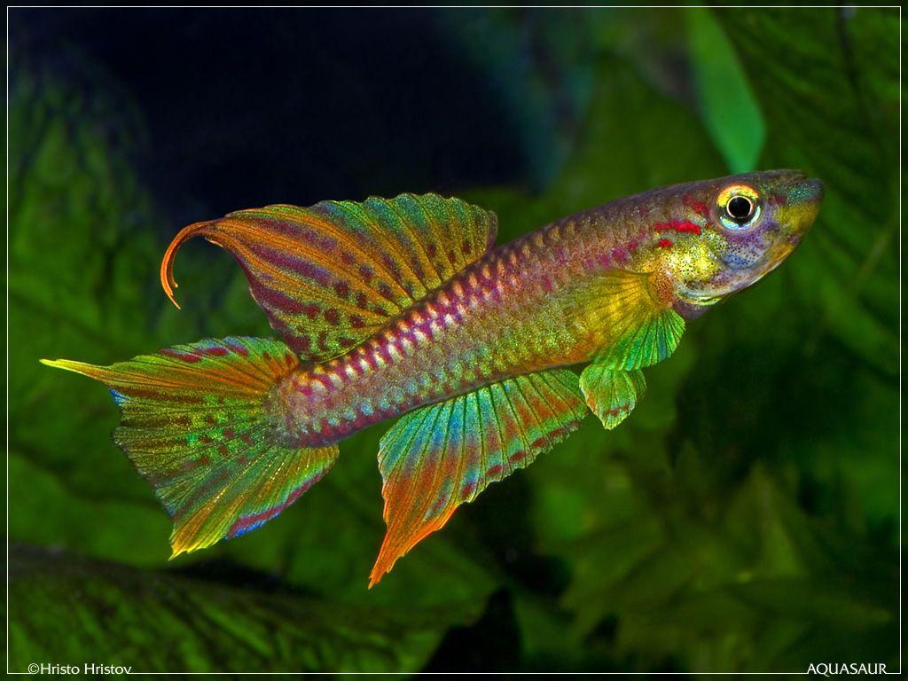 Freshwater aquarium fish gobiidae - Chromaphyosemion Splendopleure Killifish Freshwater Aquariumaquarium Fishplanted