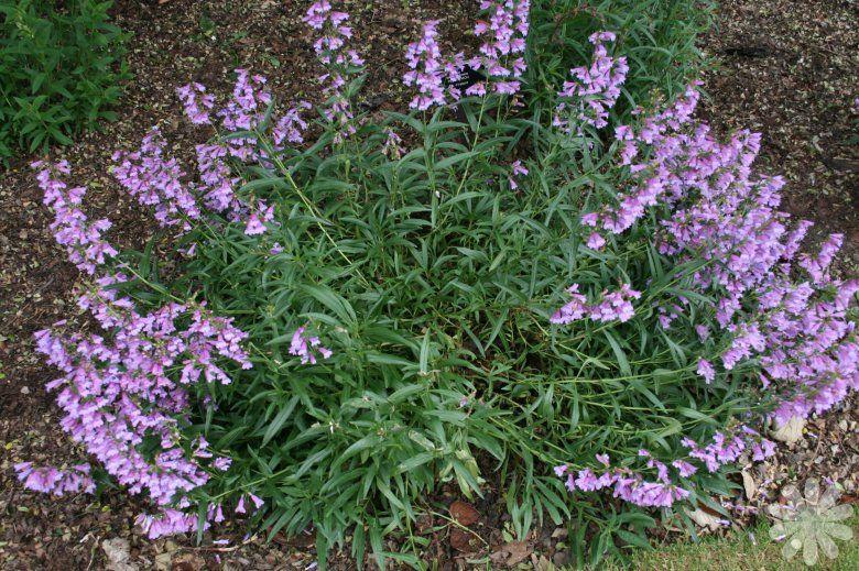 Penstemon Plants Penstemon Stapleford Gem Herbaceous Whole Plant Early Summer
