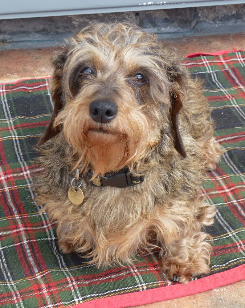 Bothlyn Painted Lady Our Mini Wirehaired Brindle Dapple Dachshund