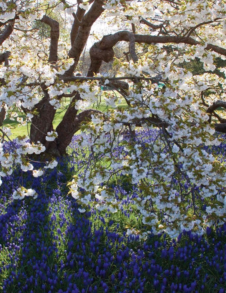 Mount Fuji Cherry Prunus Shirotae Underplanted With Muscari Armeniacum At Rhs Garden Wisley Blossom Trees Muscari Companion Planting