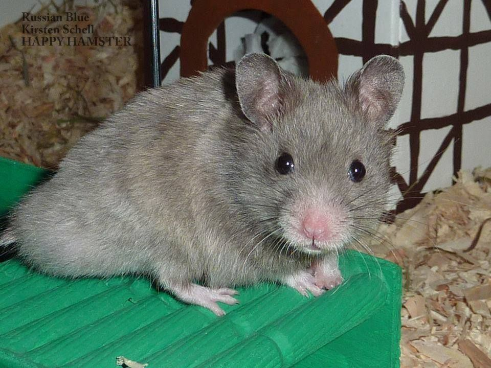 Russian Blue Sh Hamster Unknown Genotype Syrian Hamster