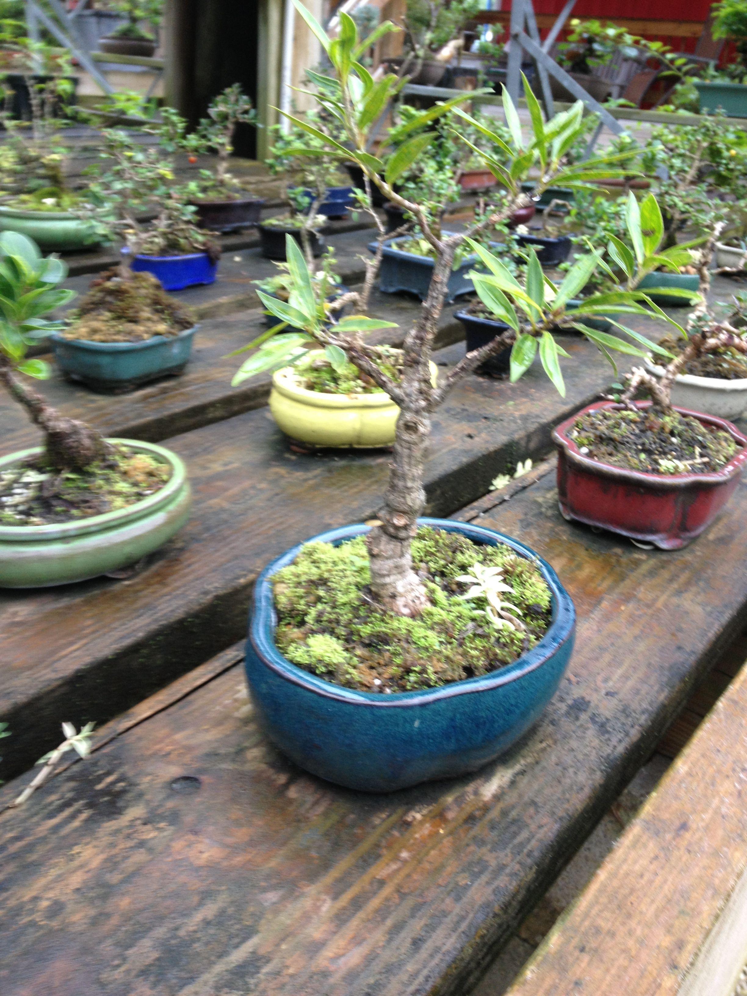 Sanctuary Bonsai Plants Bonsai Tropical