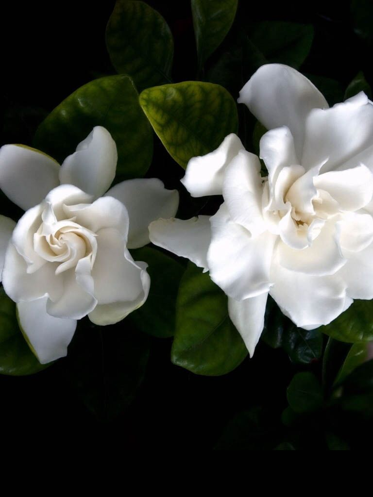 Pin By Oprah Diaz On For My Cat Flowers White Flowers Types Of White Flowers