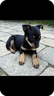 Jack Russell Terrier Chihuahua Mix Puppy For Adoption In