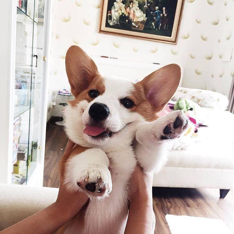 Pin By Kalie King On Corgis In 2020 Cute Corgi Puppy Corgi Dog Corgi Puppy