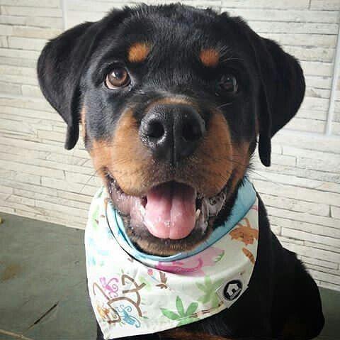 I Got A New Bandana Rottweiler Rottweiler Puppies Losing A Dog