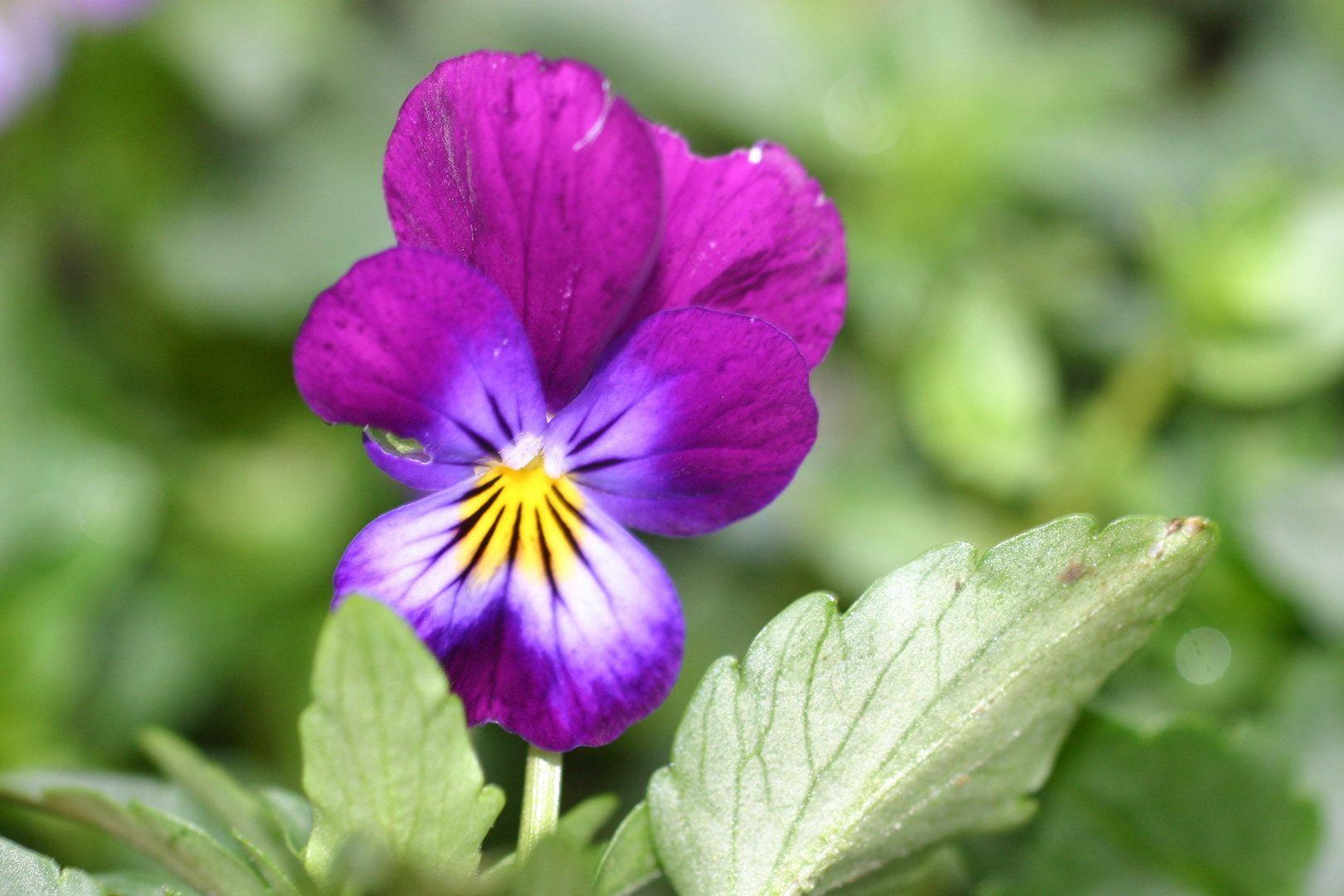 Heartsease Companion Mix (Viola tricolor) Koanga Gardens