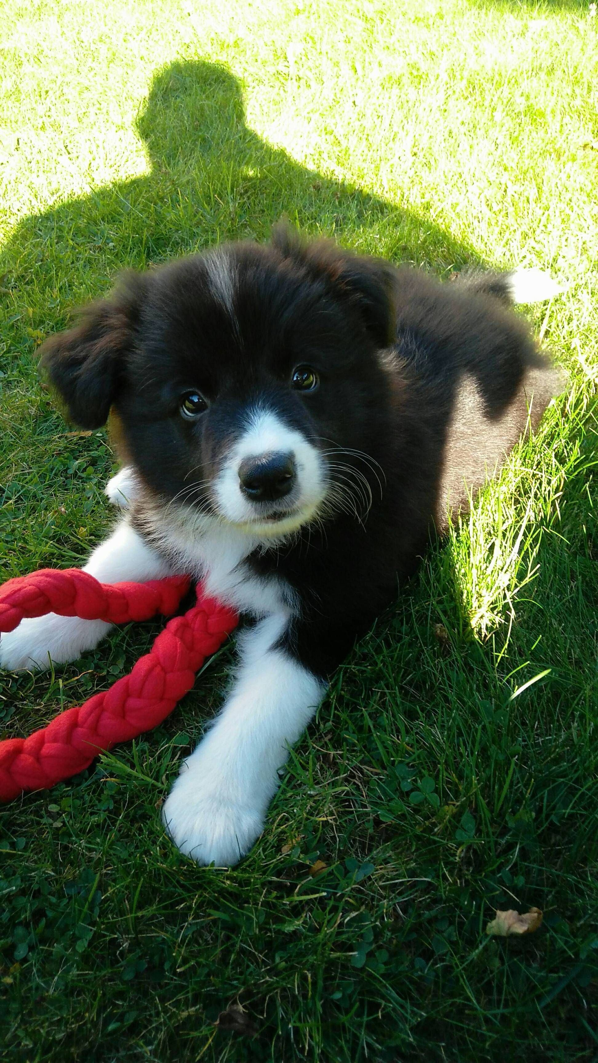 Border Collie Puppy Follow Galaxycase To See More Cutest Animals
