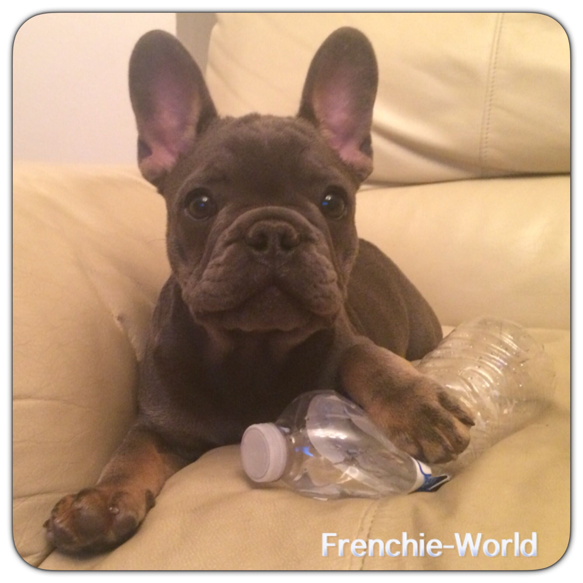 Pin By Frenchie World On Frenchie World Past Puppies Bulldog