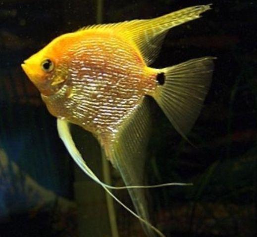 Angelfish Yellow Platinum Pearlscale Medium Angel Fish Beautiful Fish Discus Fish For Sale
